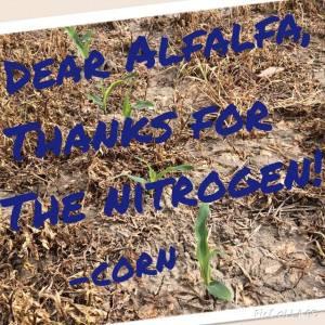 dear alfalfa